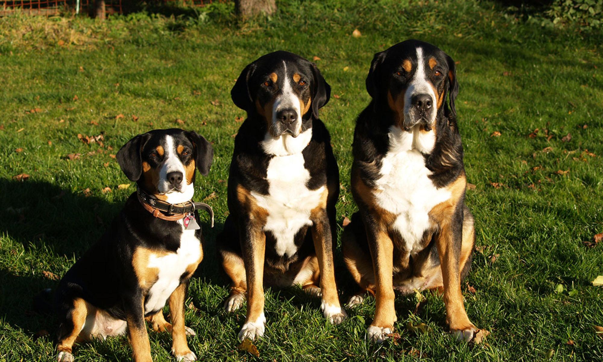 Sennenhunde-von-Langenzeil